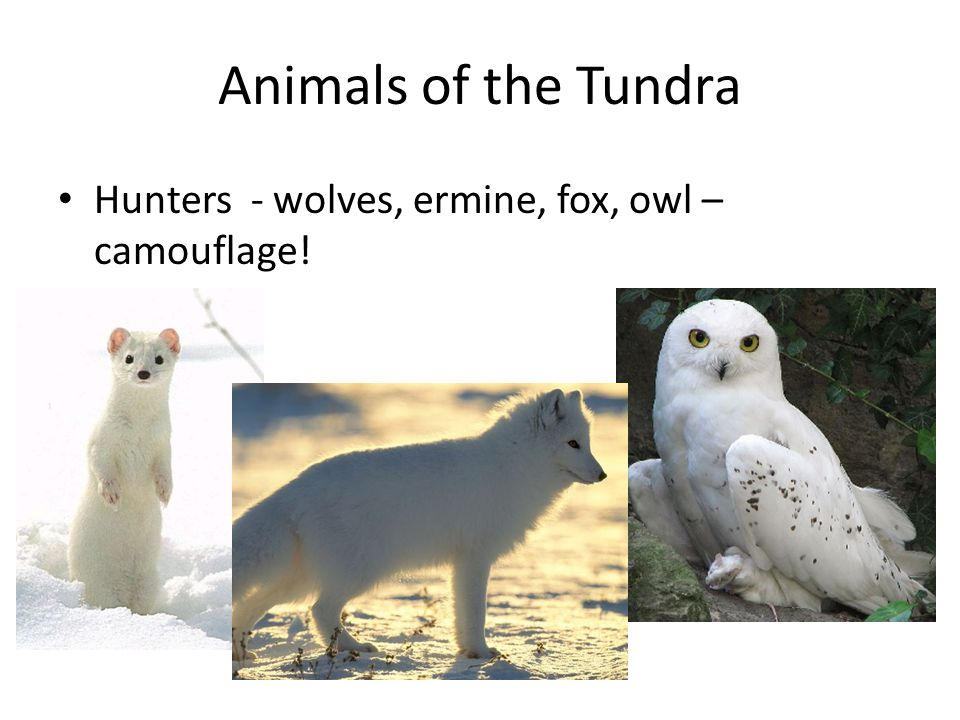 Animals of the Tundra Hunters - wolves, ermine, fox, owl – camouflage!