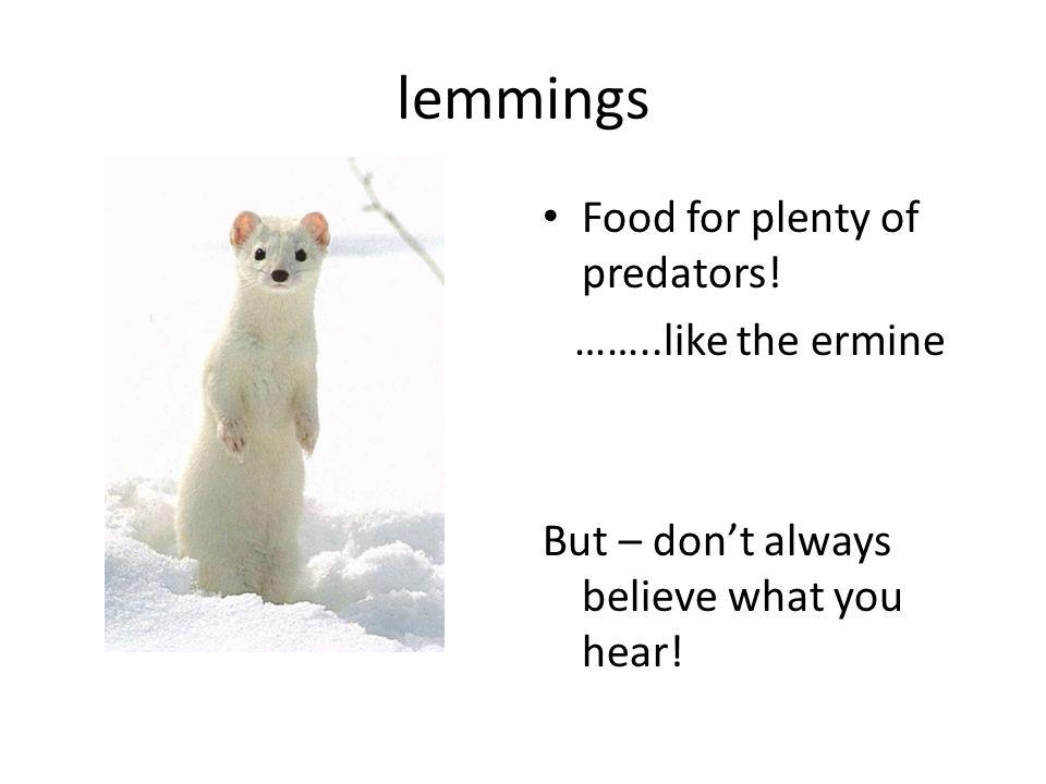 lemmings Food for plenty of predators! ……..like the ermine