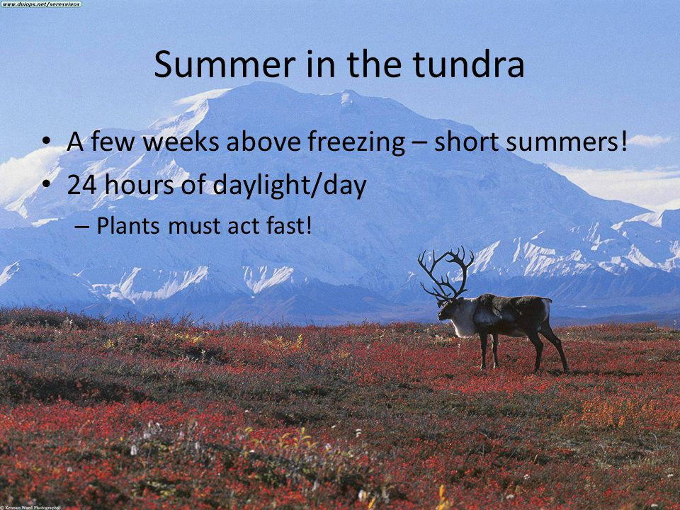 Summer in the tundra A few weeks above freezing – short summers!