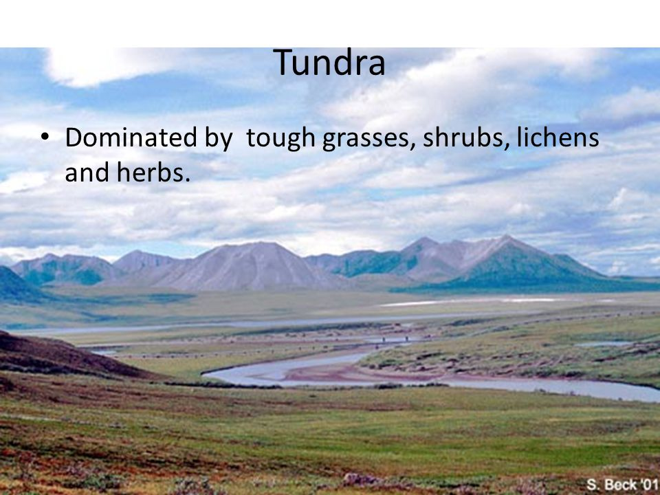Tundra Dominated by tough grasses, shrubs, lichens and herbs.