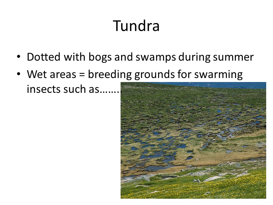 Tundra Dotted with bogs and swamps during summer