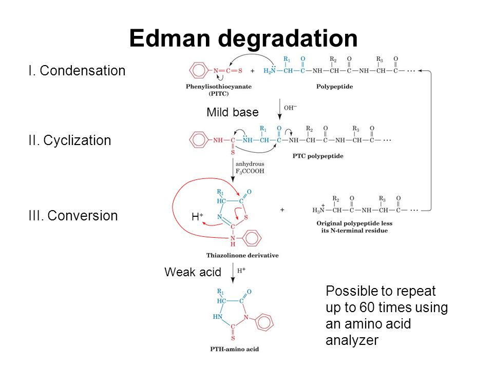 Edman degradation I. Condensation II. Cyclization III. Conversion