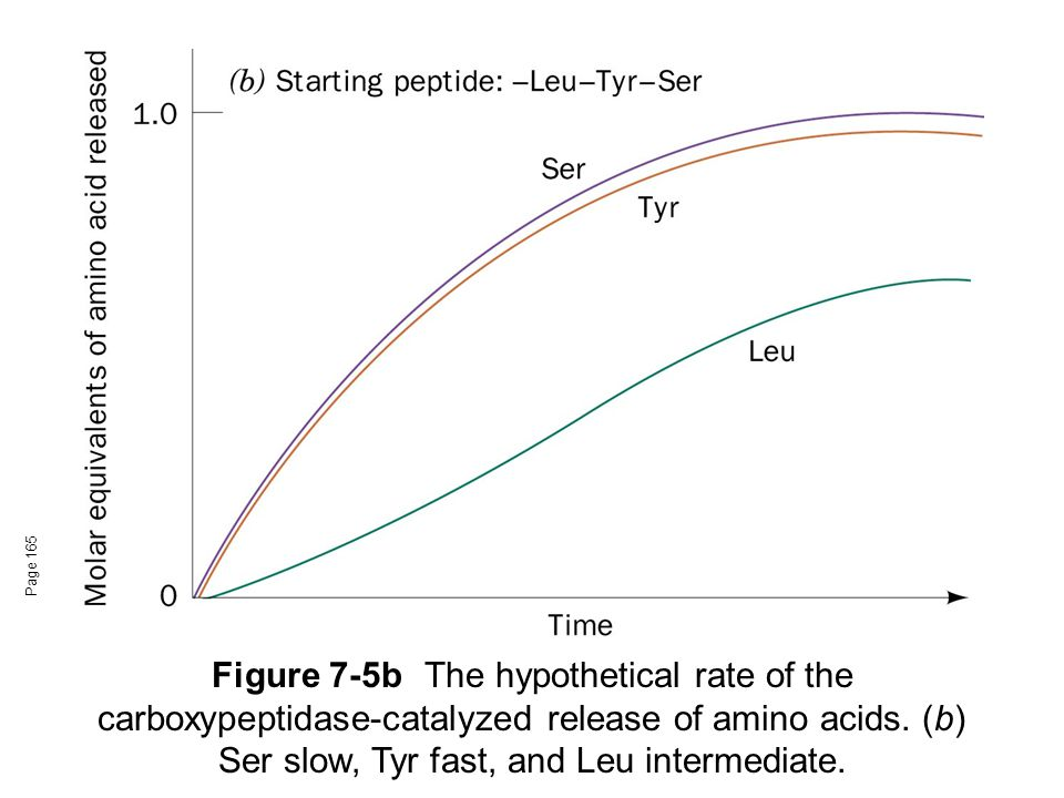Page 165 Figure 7-5b The hypothetical rate of the carboxypeptidase-catalyzed release of amino acids.
