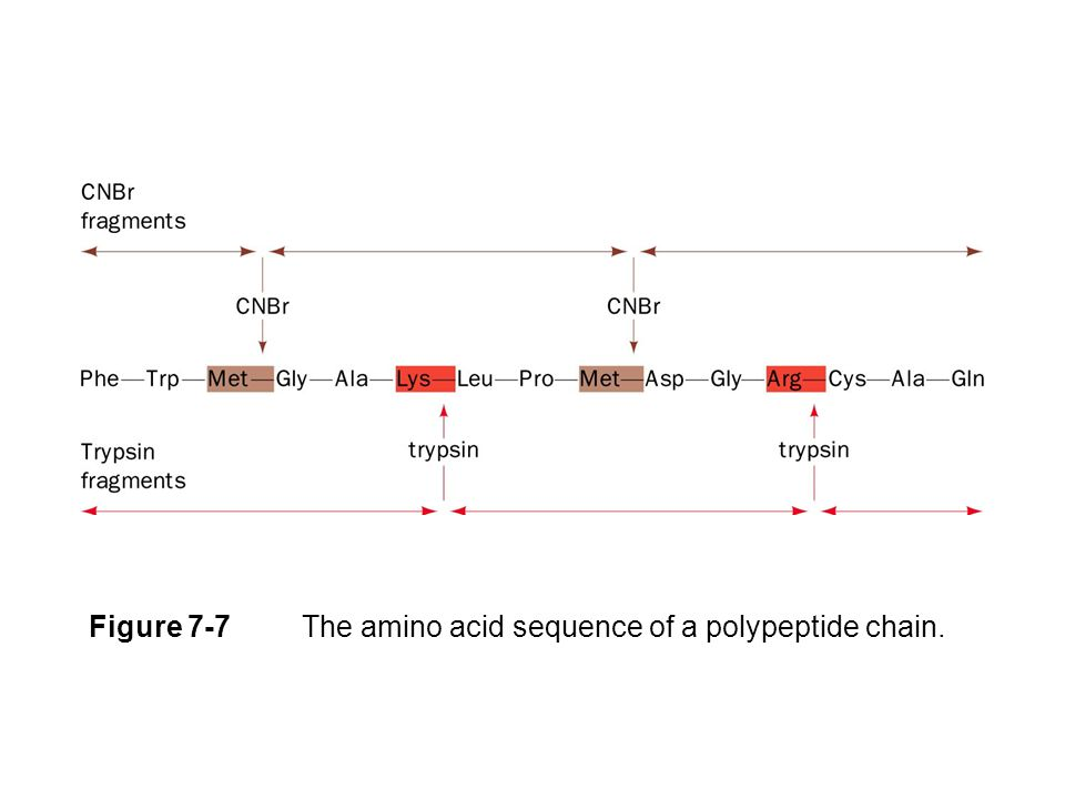 Figure 7-7 The amino acid sequence of a polypeptide chain.
