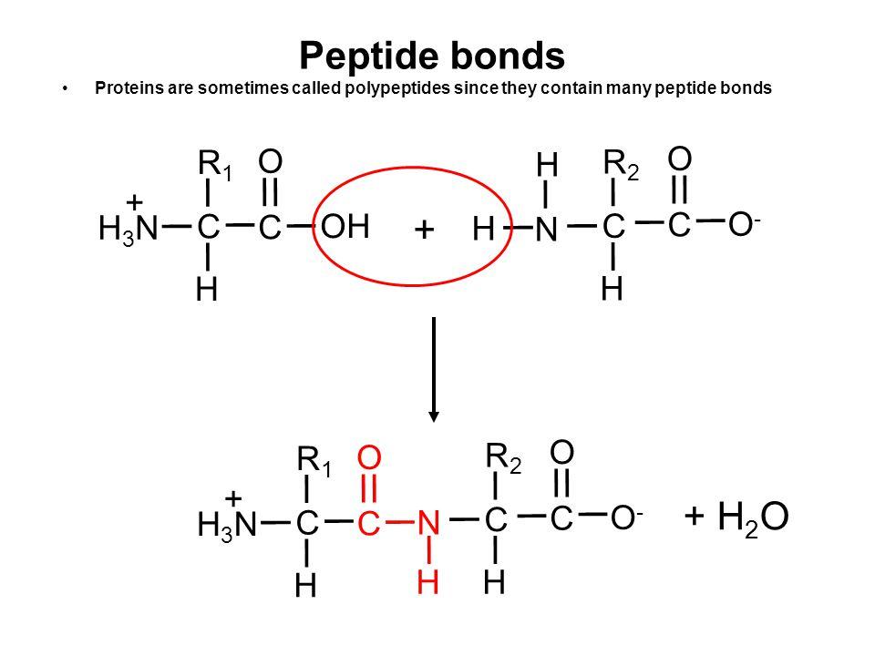 Peptide bonds + + H2O H C R1 H3N + O OH N H C R2 O- O H C N R1 H3N + O