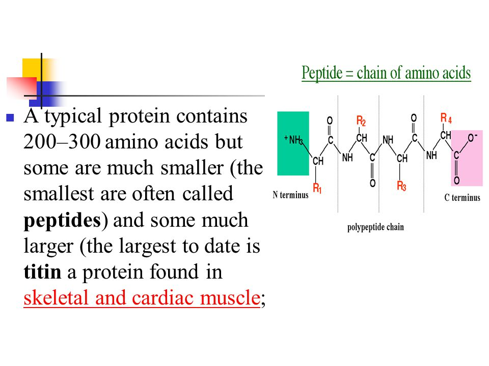 A typical protein contains 200–300 amino acids but some are much smaller (the smallest are often called peptides) and some much larger (the largest to date is titin a protein found in skeletal and cardiac muscle;