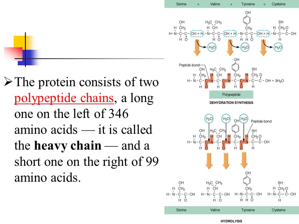 The protein consists of two polypeptide chains, a long one on the left of 346 amino acids — it is called the heavy chain — and a short one on the right of 99 amino acids.
