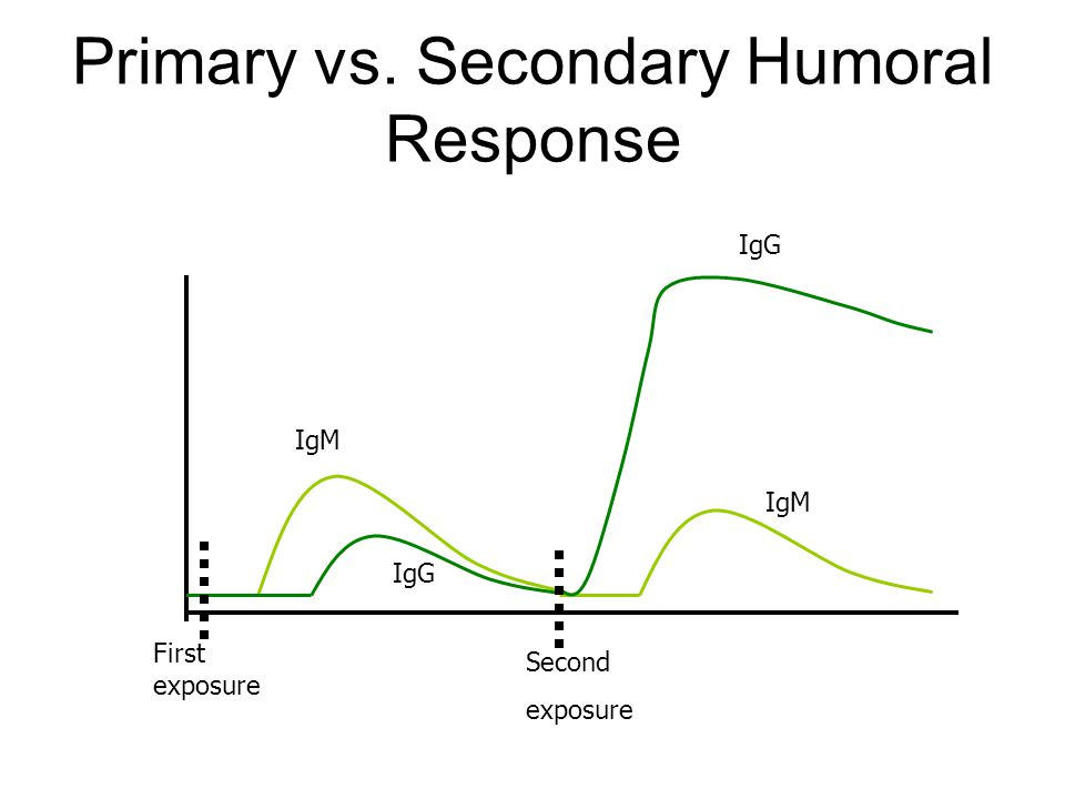 Primary vs. Secondary Humoral Response