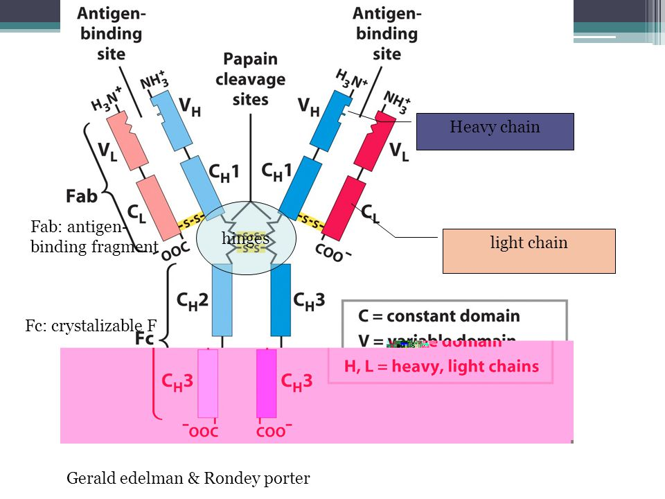 Heavy chain hinges. Fab: antigen-binding fragment.