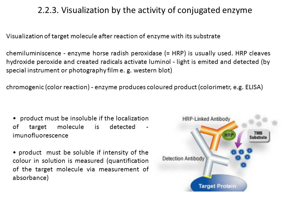 2.2.3. Visualization by the activity of conjugated enzyme