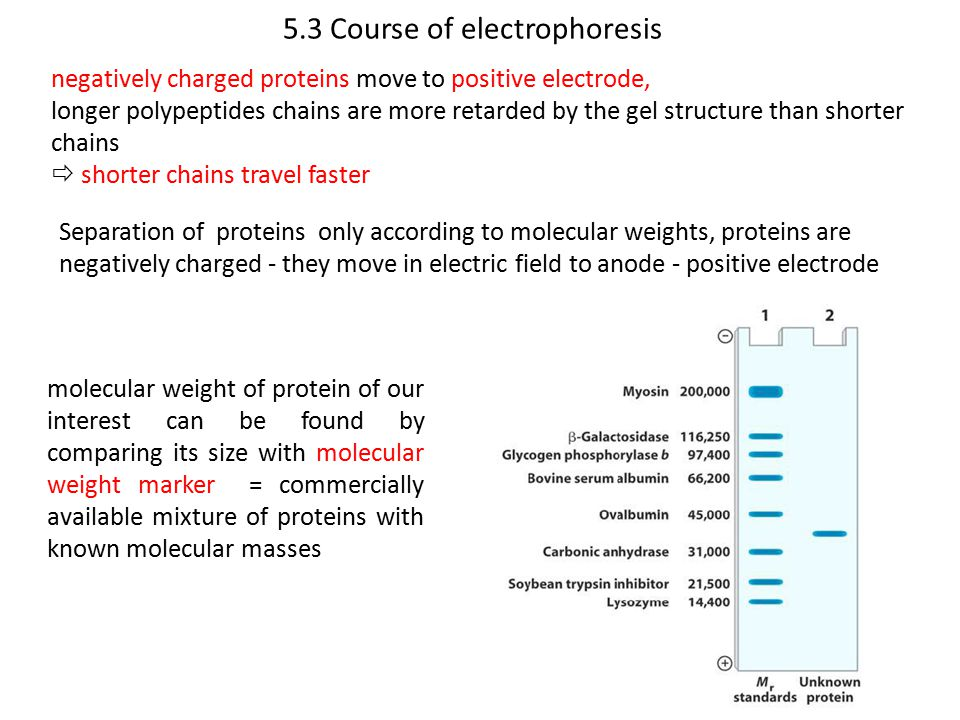 5.3 Course of electrophoresis