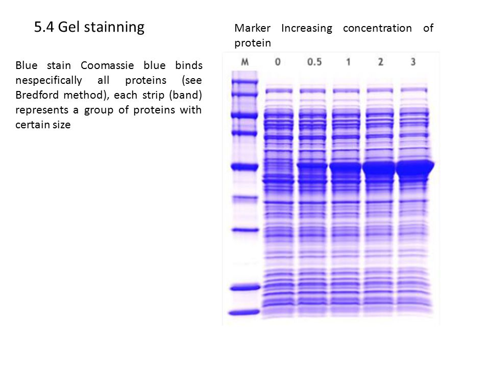5.4 Gel stainning Marker Increasing concentration of protein