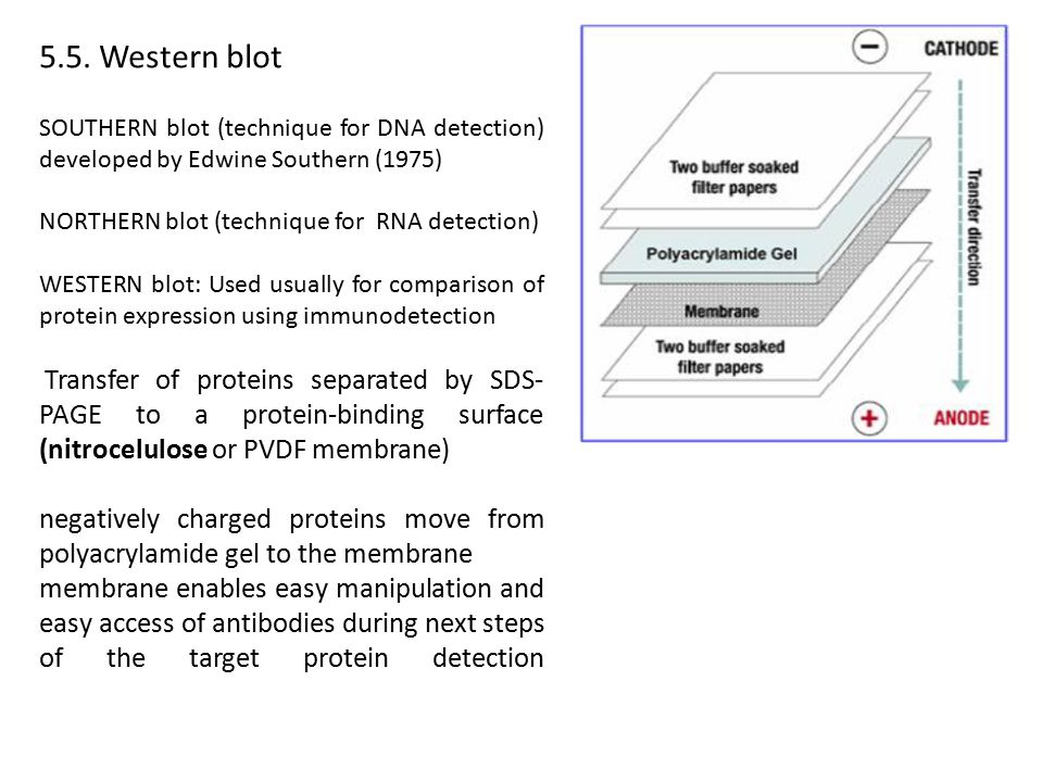 5.5. Western blot SOUTHERN blot (technique for DNA detection) developed by Edwine Southern (1975) NORTHERN blot (technique for RNA detection)