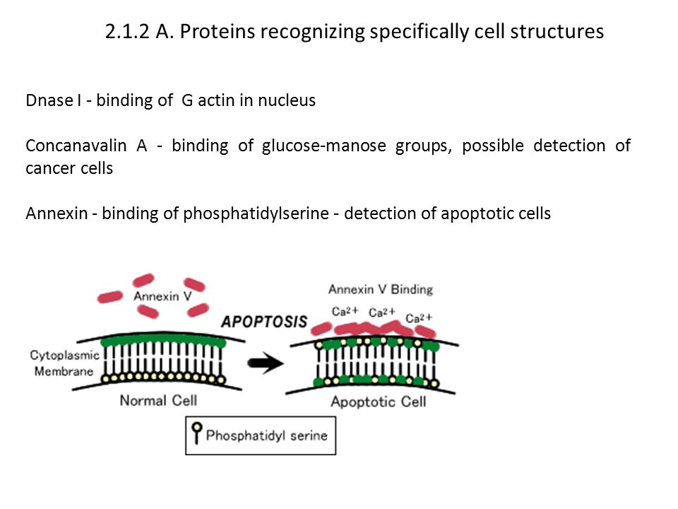 2.1.2 A. Proteins recognizing specifically cell structures