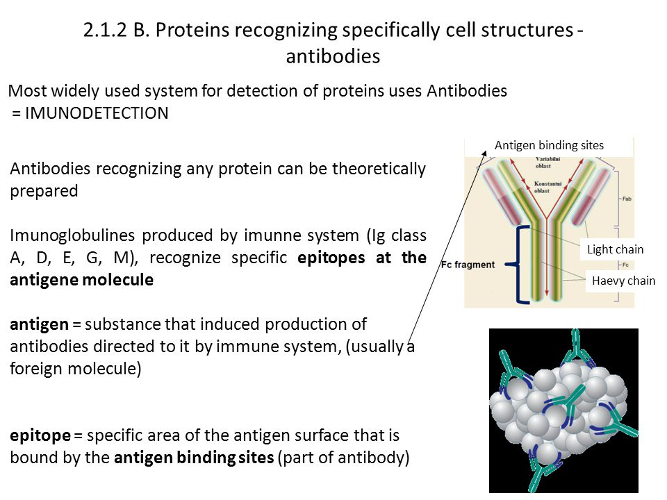 2.1.2 B. Proteins recognizing specifically cell structures - antibodies