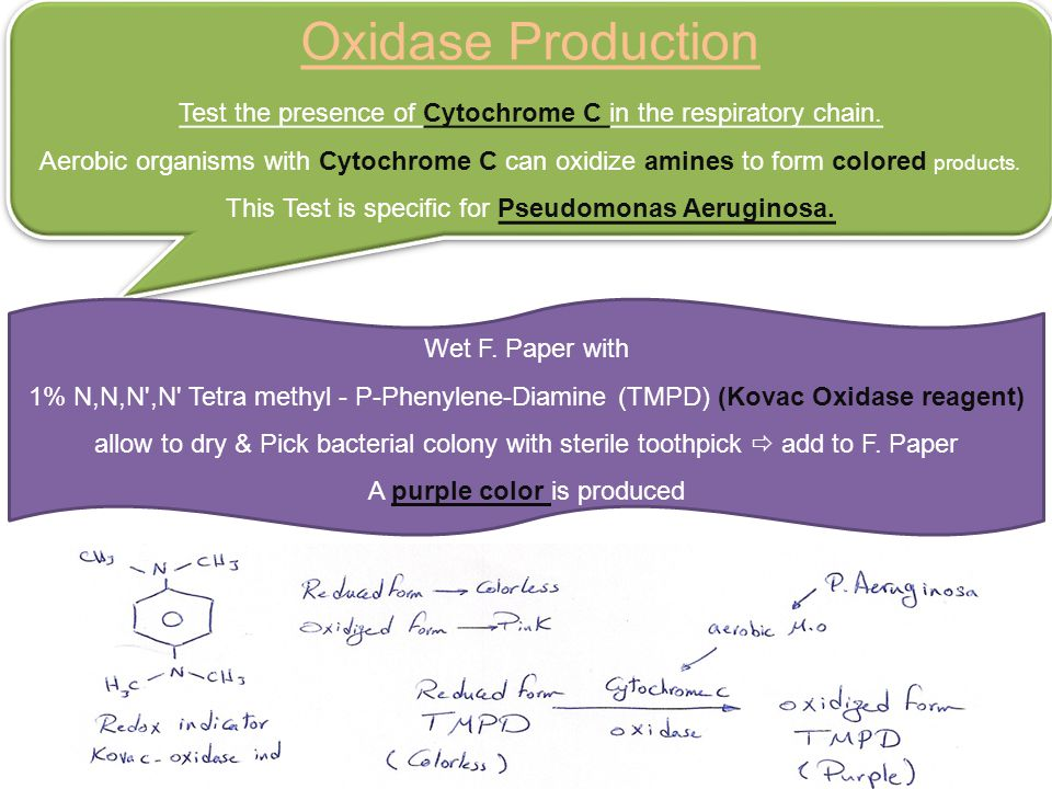 Oxidase Production Test the presence of Cytochrome C in the respiratory chain.