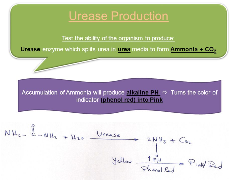 Urease Production Test the ability of the organism to produce: