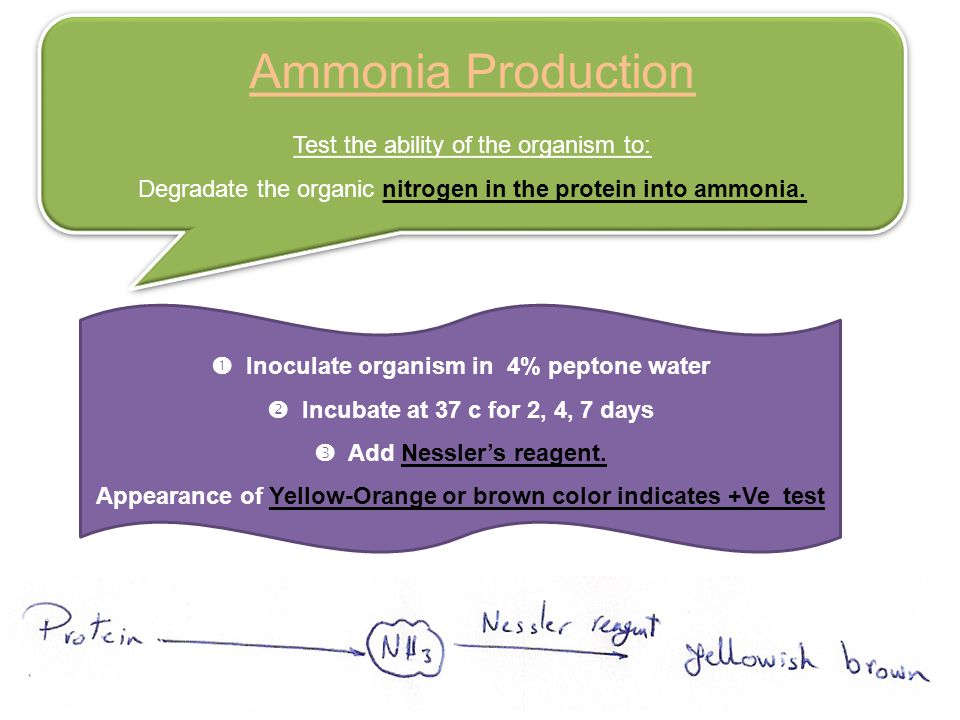 Ammonia Production Test the ability of the organism to: