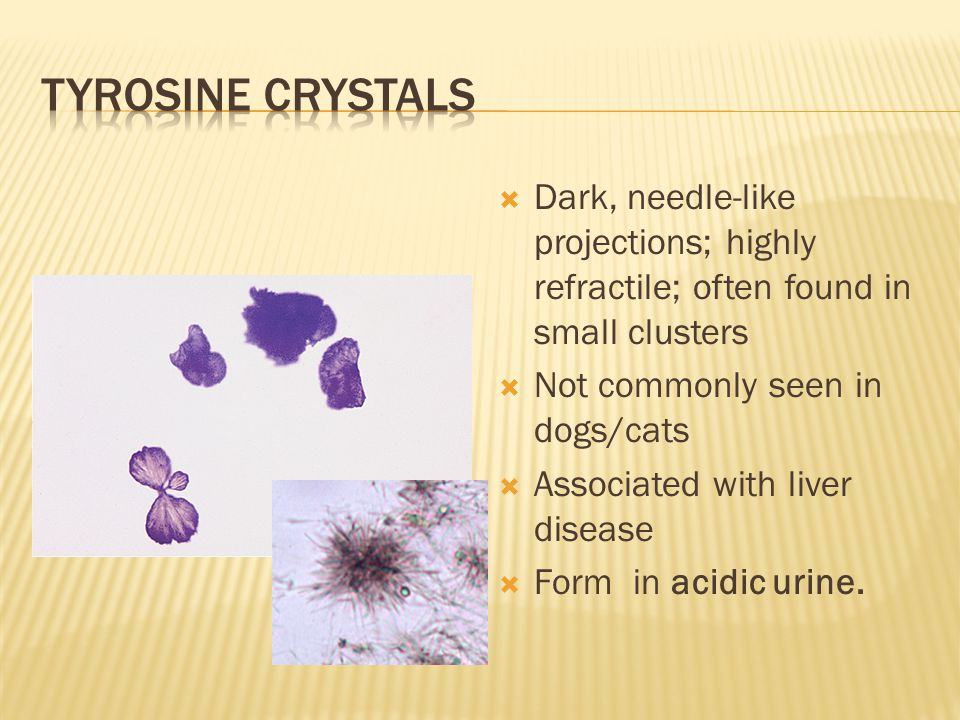 Tyrosine crystals Dark, needle-like projections; highly refractile; often found in small clusters. Not commonly seen in dogs/cats.