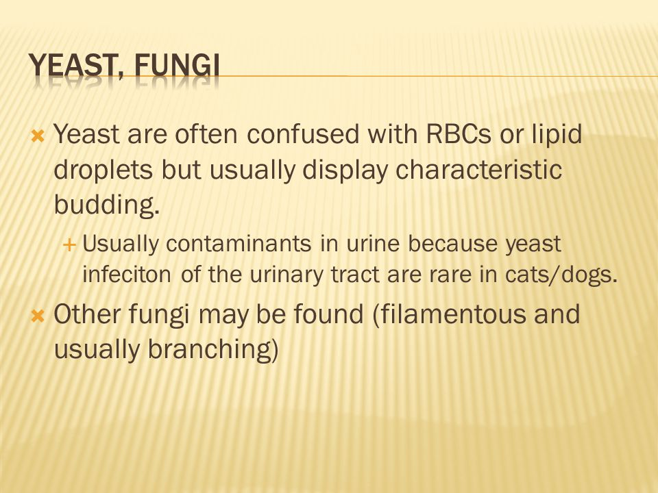Yeast, fungi Yeast are often confused with RBCs or lipid droplets but usually display characteristic budding.