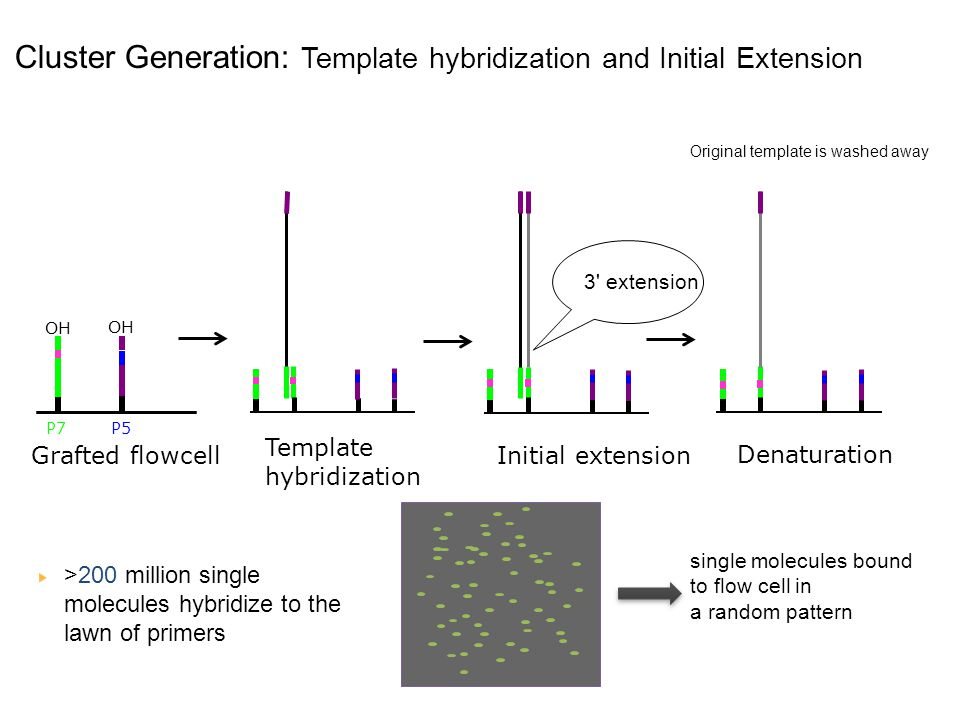 Cluster Generation: Template hybridization and Initial Extension