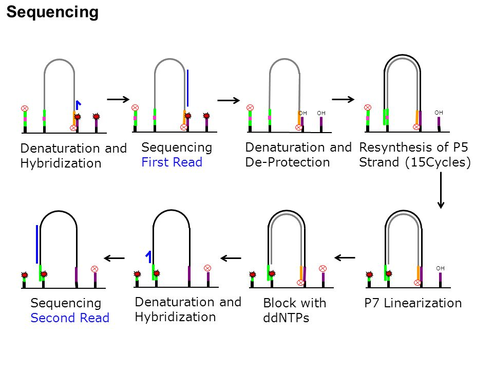 Sequencing Resynthesis of P5 Strand (15Cycles) Sequencing First Read