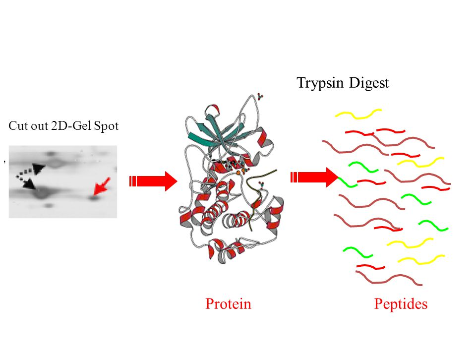 Trypsin Digest Cut out 2D-Gel Spot Protein Peptides
