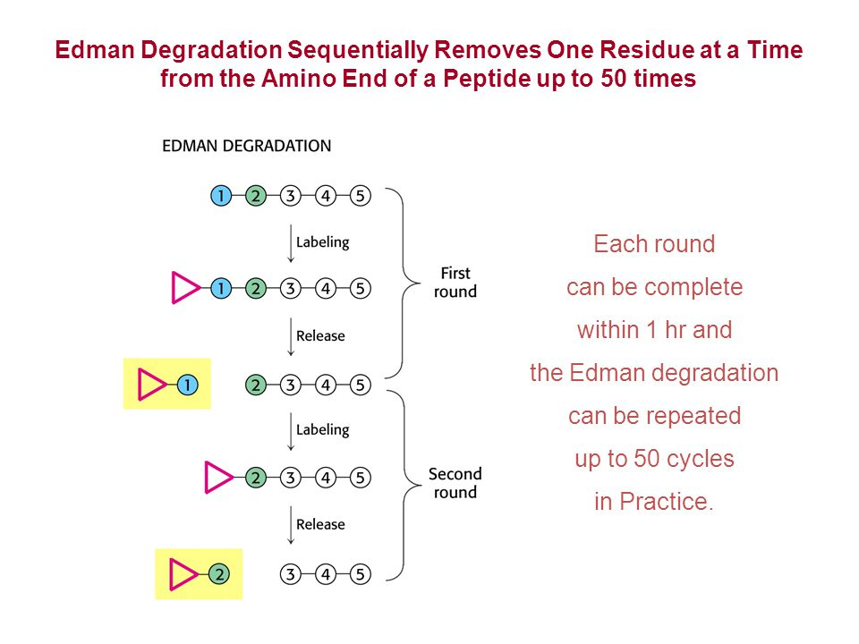 Edman Degradation Sequentially Removes One Residue at a Time