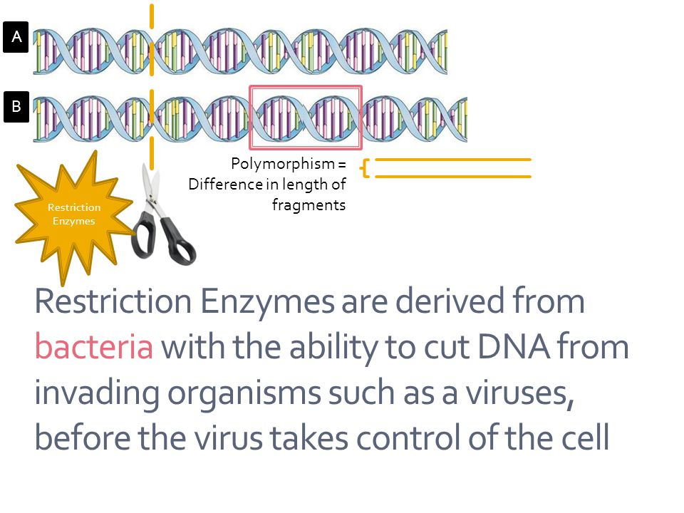 Restriction Enzymes A. B. Polymorphism = Difference in length of fragments.