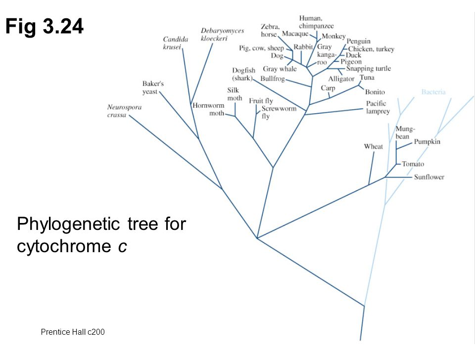 Fig 3.24 Phylogenetic tree for cytochrome c Prentice Hall c2002