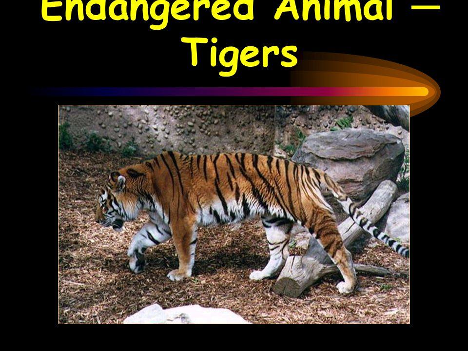 Endangered Animal ─ Tigers