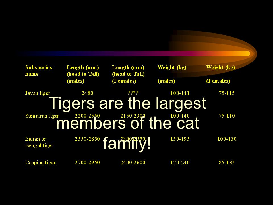 Tigers are the largest members of the cat family!