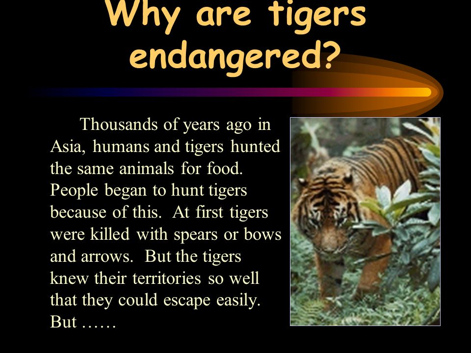 Why are tigers endangered