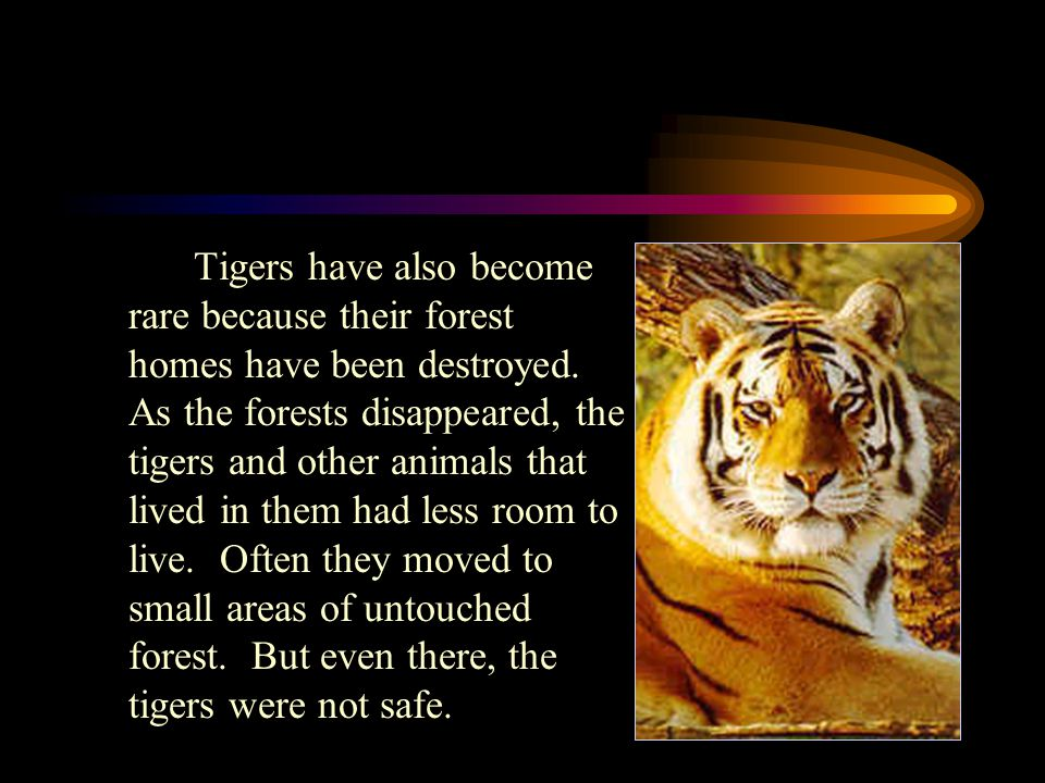 Tigers have also become rare because their forest homes have been destroyed.