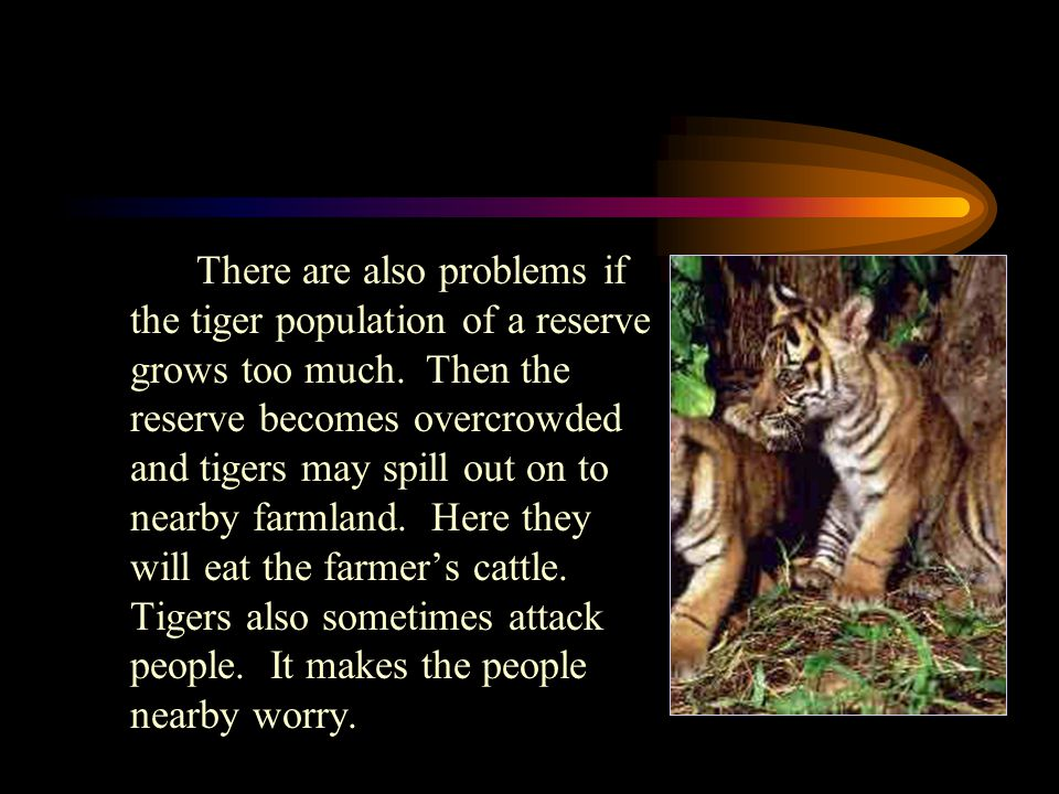 There are also problems if the tiger population of a reserve grows too much.