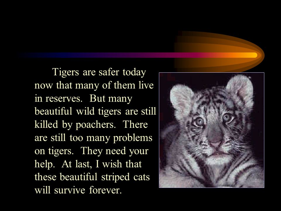 Tigers are safer today now that many of them live in reserves