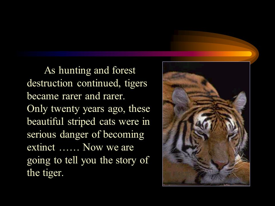 As hunting and forest destruction continued, tigers became rarer and rarer.