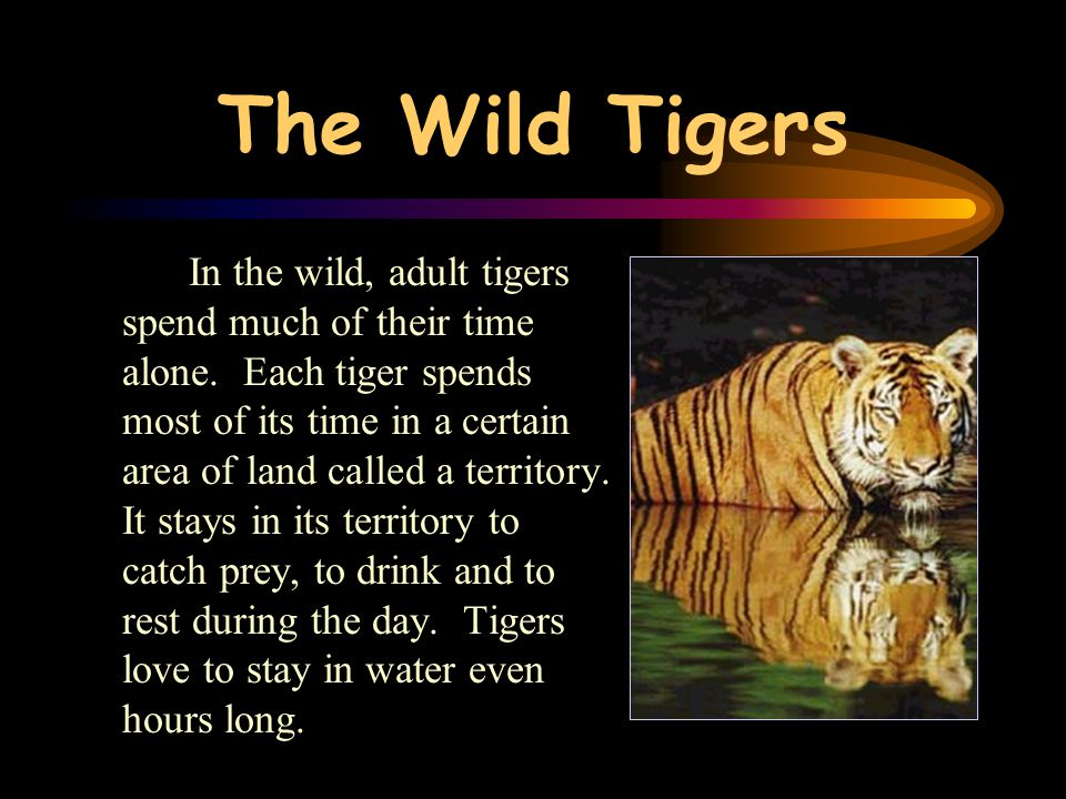 The Wild Tigers