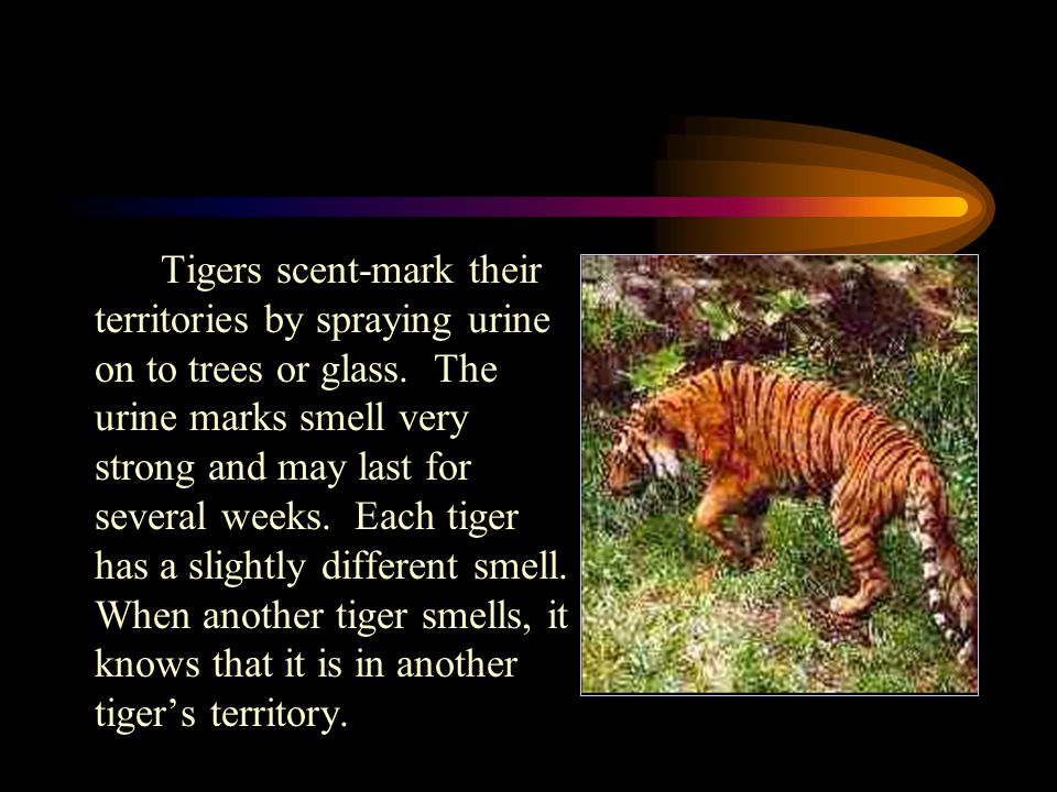 Tigers scent-mark their territories by spraying urine on to trees or glass.