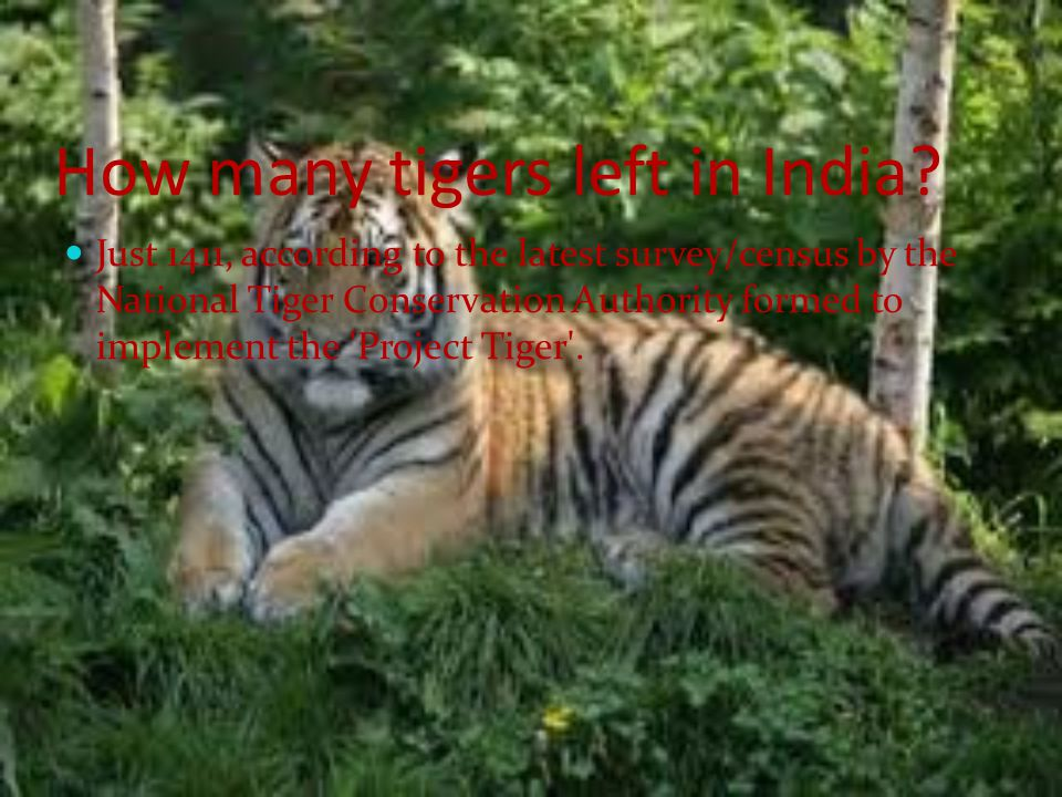 How many tigers left in India
