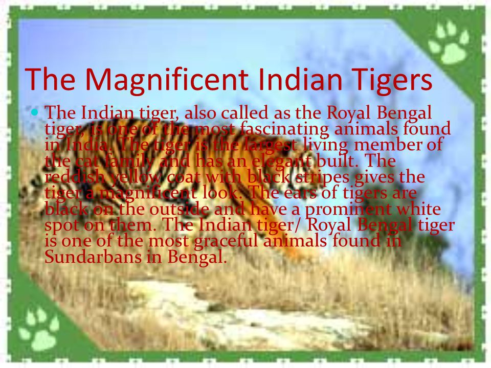 The Magnificent Indian Tigers