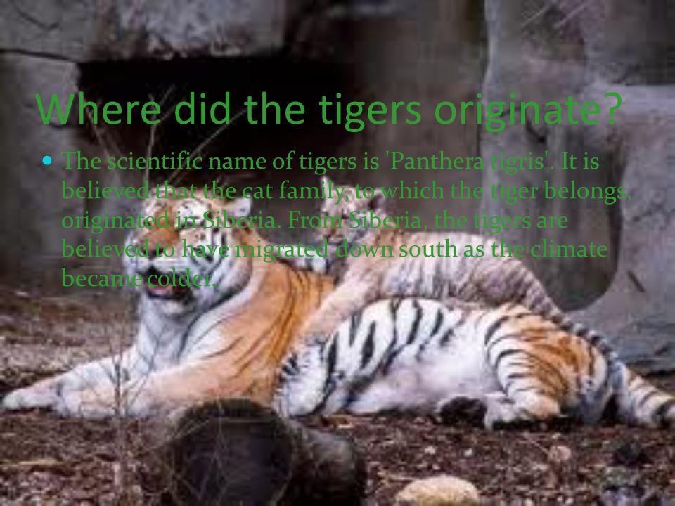 Where did the tigers originate