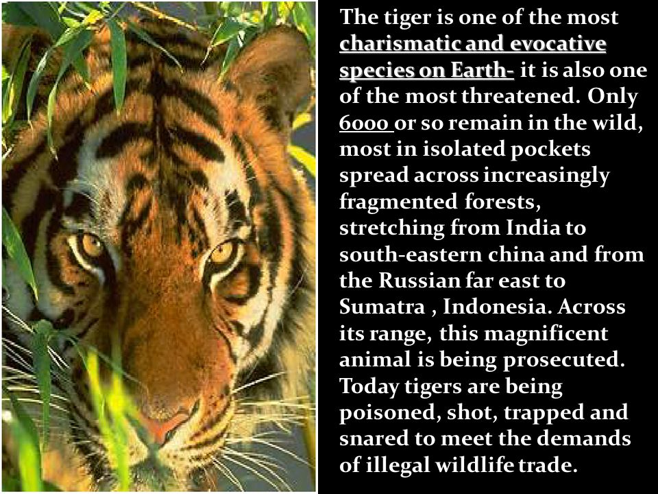 The tiger is one of the most charismatic and evocative species on Earth- it is also one of the most threatened.