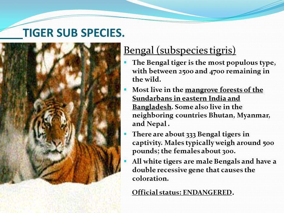 TIGER SUB SPECIES. Bengal (subspecies tigris)