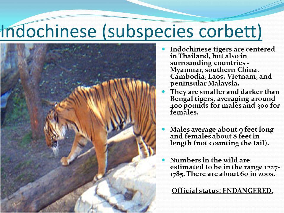 Indochinese (subspecies corbett)