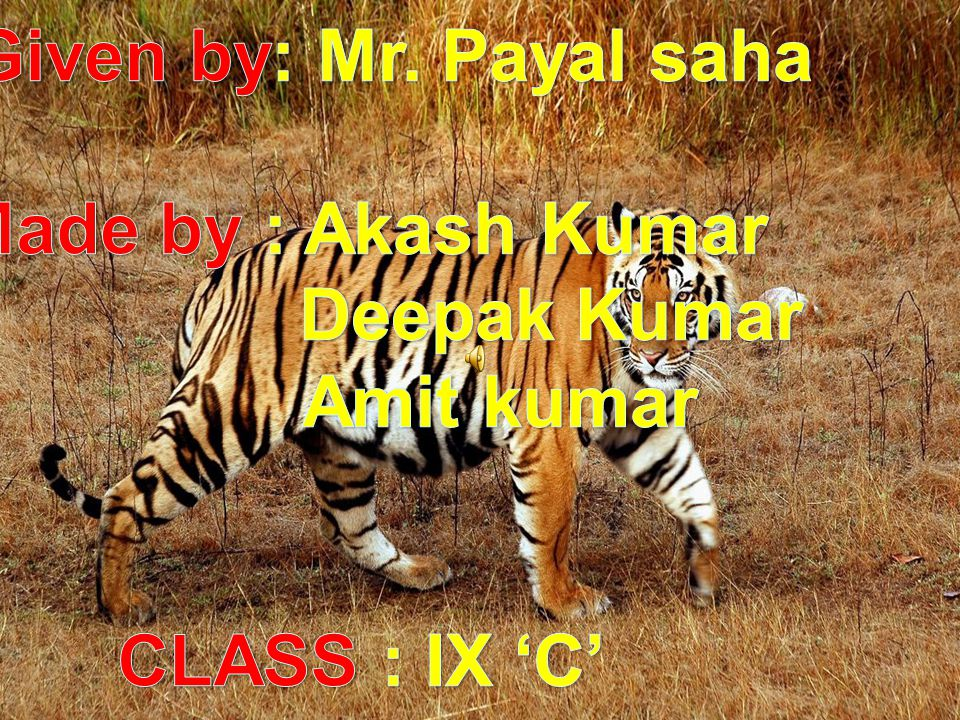 Save Tigers Given by: Mr. Payal saha Made by : Akash Kumar