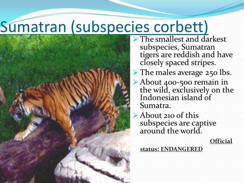 Sumatran (subspecies corbett)