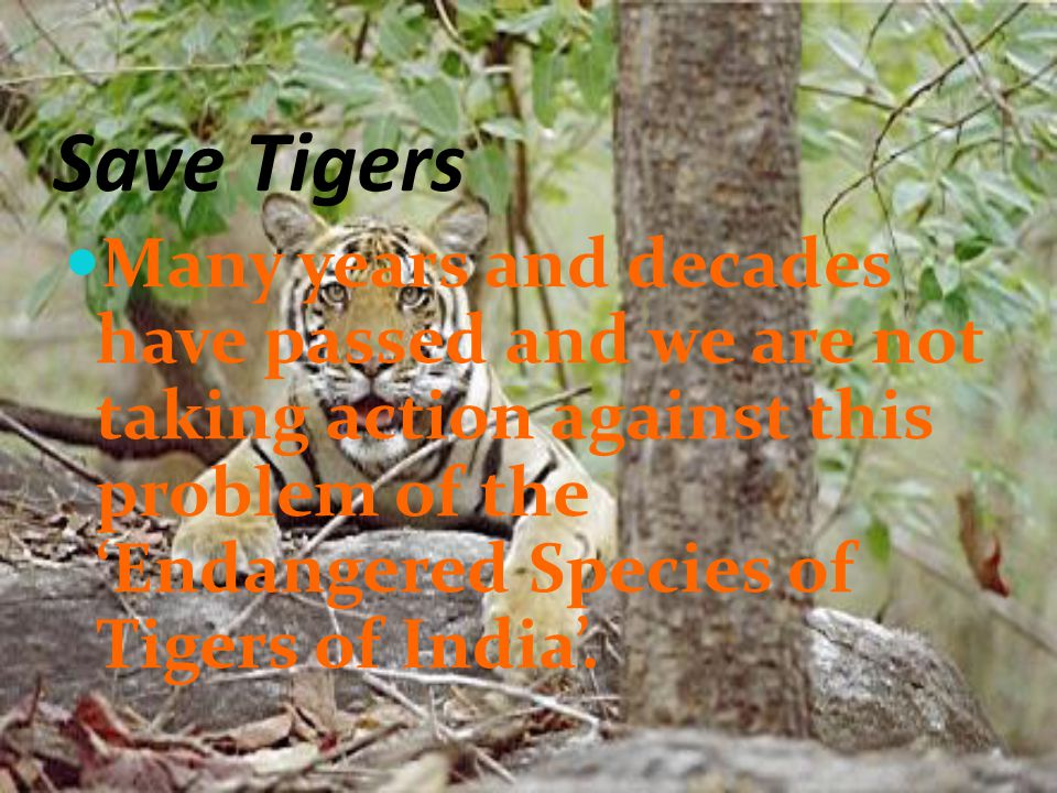 Save Tigers Many years and decades have passed and we are not taking action against this problem of the 'Endangered Species of Tigers of India'.