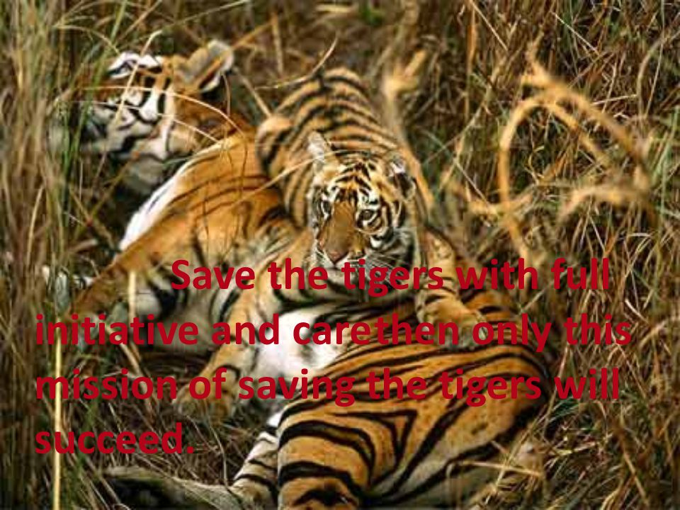 Save the tigers with full initiative and care