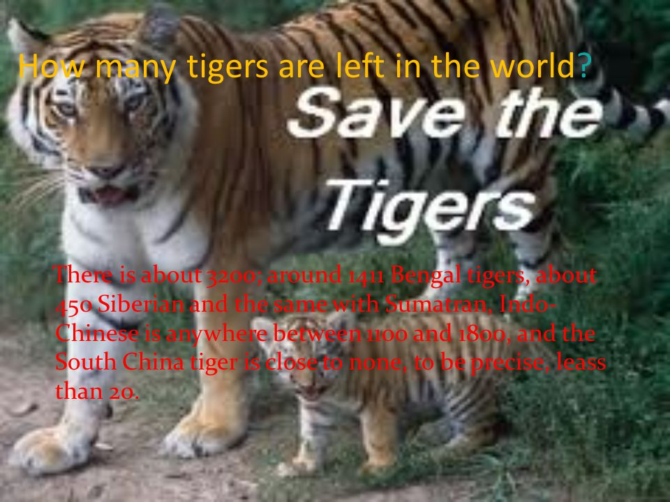 How many tigers are left in the world